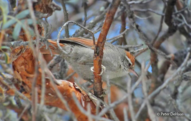 line-cheeked_spinetail