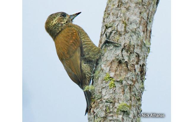 little_woodpecker