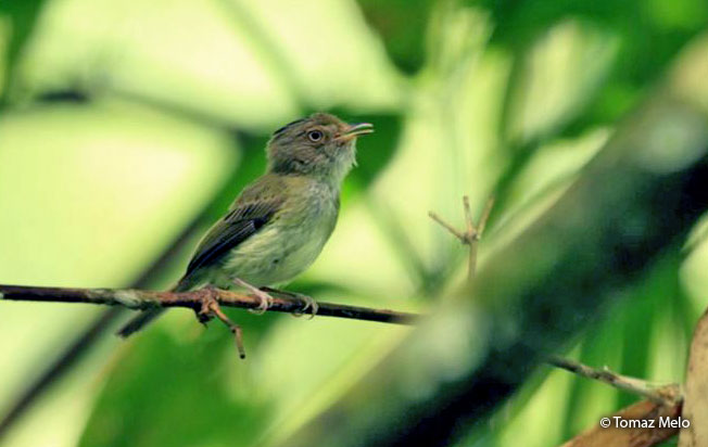 long-crested_pygmy-tyrant