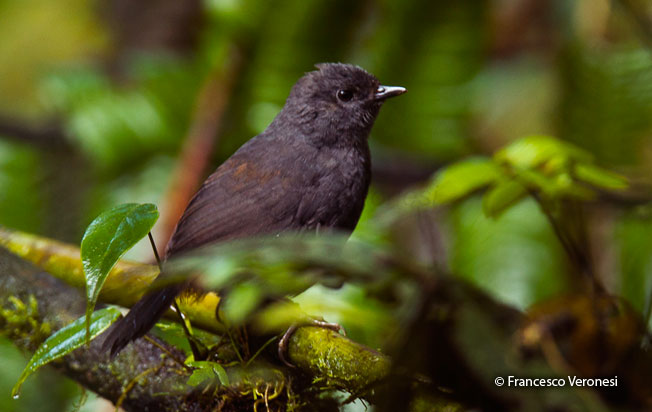 long-tailed-tapaculo