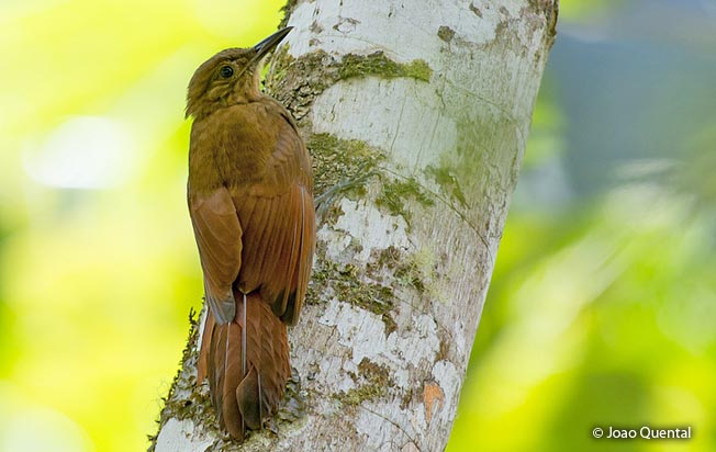 long-tailed_woodcreeper