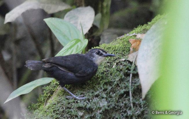 lunulated_antbird