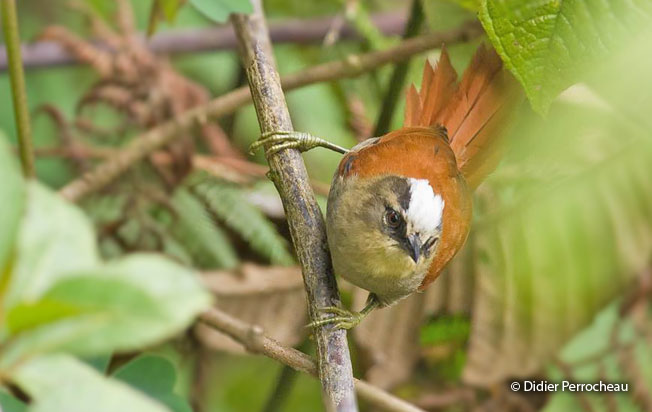 marcapata-spinetail