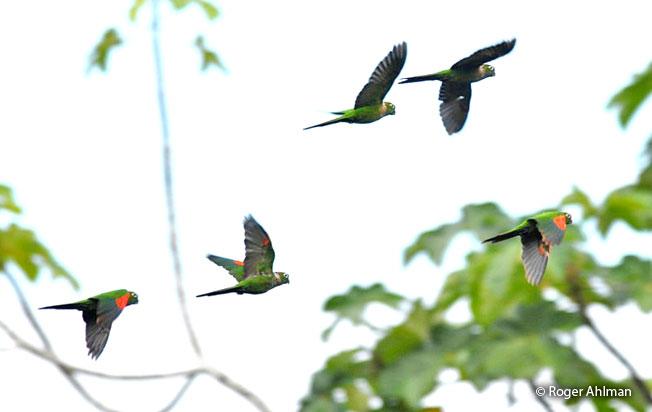 marron-tailed-parakeet