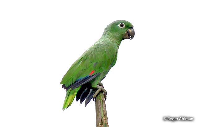 mealy-parrot