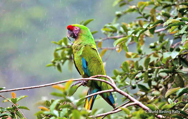 military_macaw