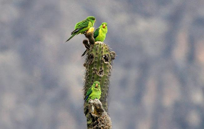 mountain-parakeet