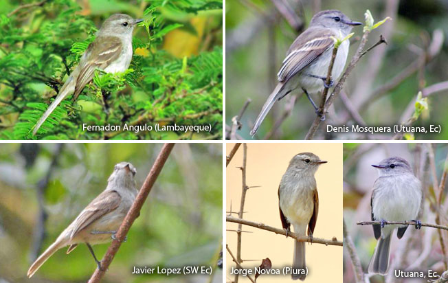 mouse-colored_tyrannulet