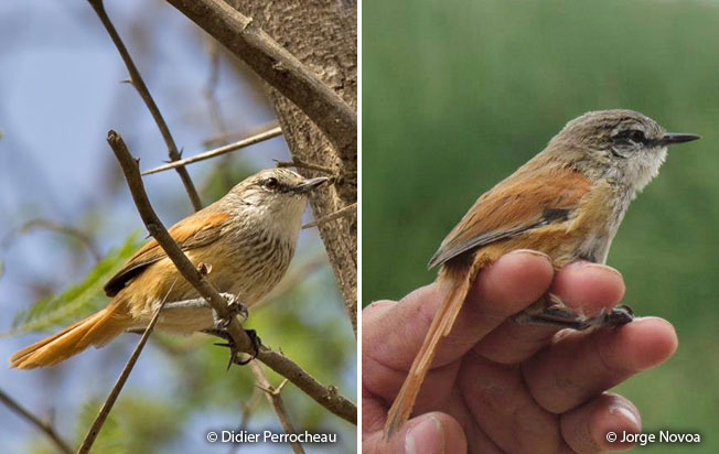necklaced_spinetail
