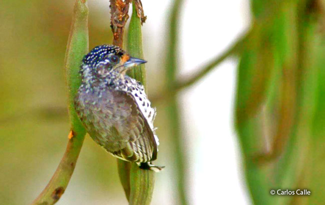 ocellated_piculet
