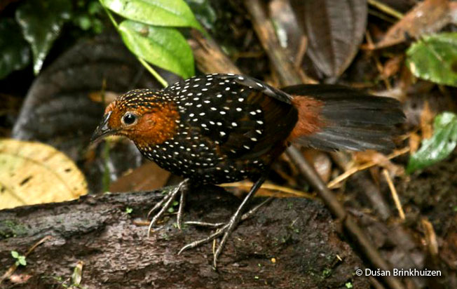 ocellated_tapaculo
