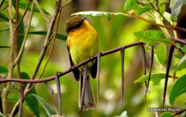 ochraceous-breasted_flycatcher