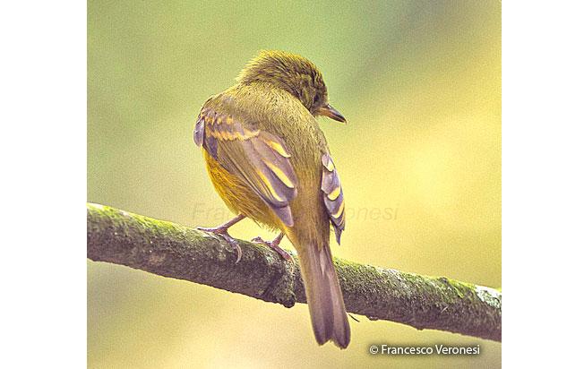 ochre-bellied_flycatcher