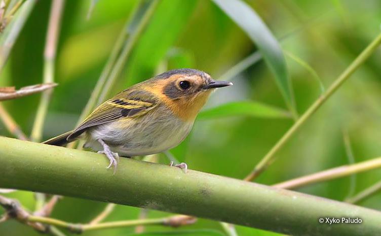 ochre-faced_tody-flycatcher