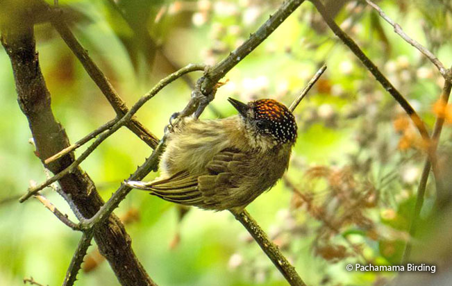 olivaceous-piculet