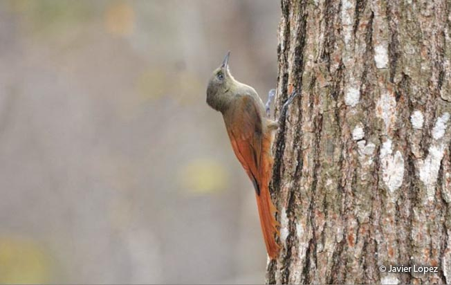 olivaceous_woodcreeper