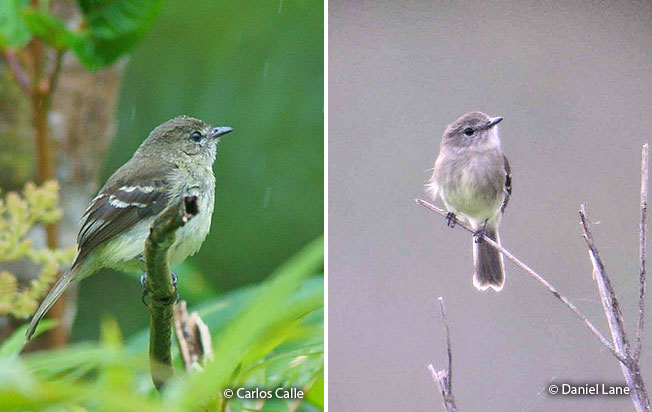 olive-chested_flycatcher