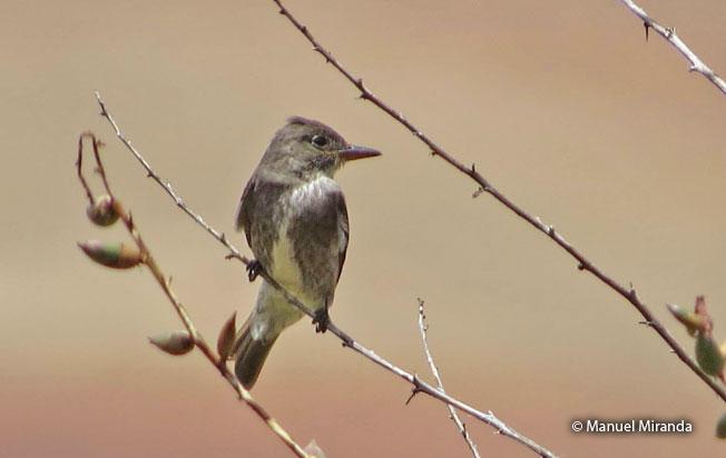 olive-sided_flycatcher