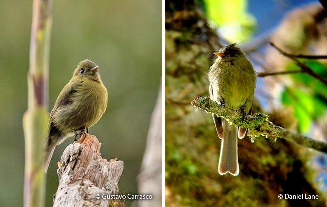 olive_flycatcher
