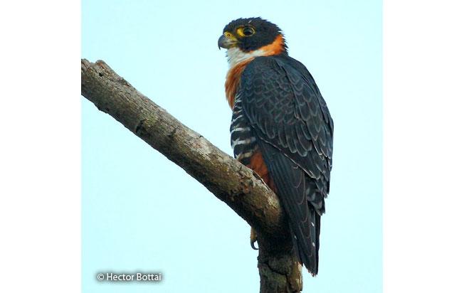 orange-breasted_falcon