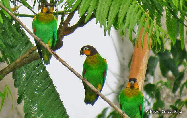 orange-cheeked-parrot