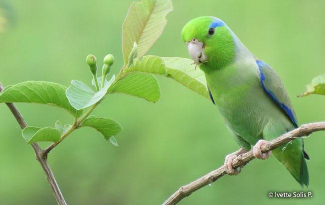 pacific-parrotlet