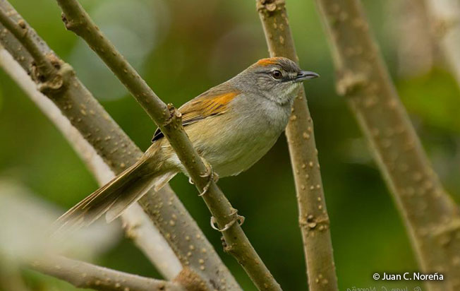 pale-breasted_spinetail