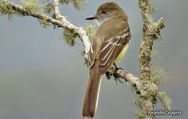 pale-edged_flycatcher
