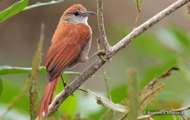 parker's_spinetail