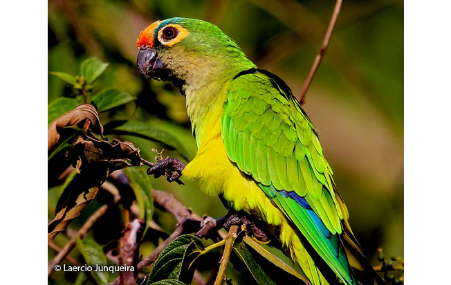 peach-fronted_parakeet