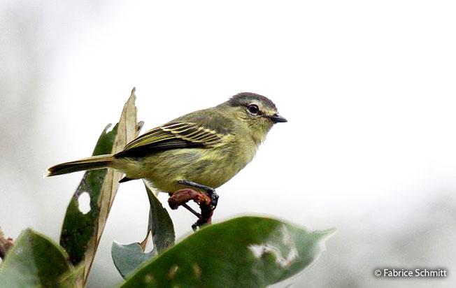 peruvian_tyrannulet