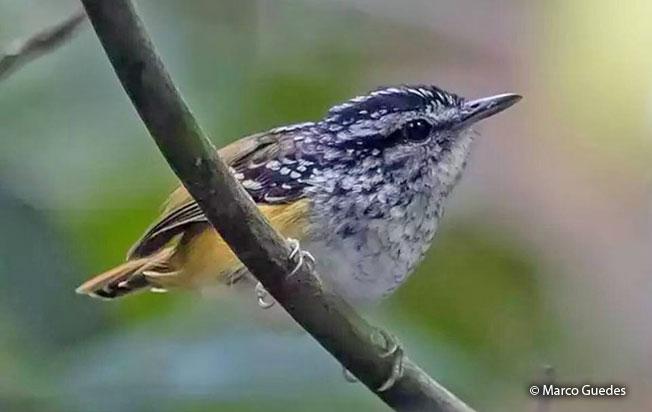 peruvian_warbling_antbird