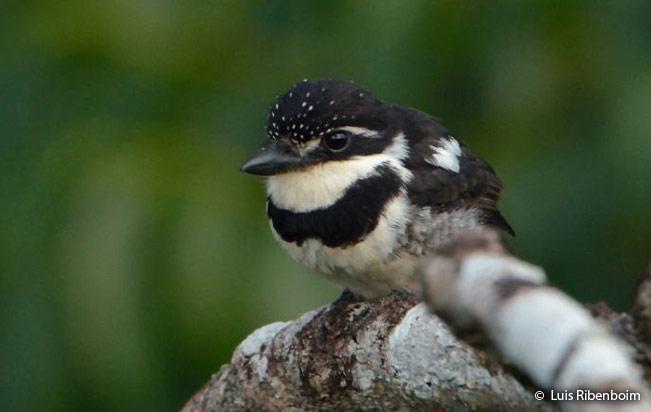 pied_puffbird