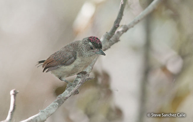 plain-breasted_piculet