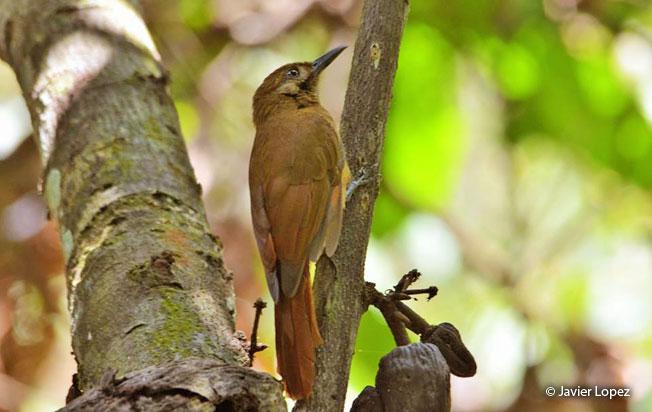 plain-brown_woodcreeper