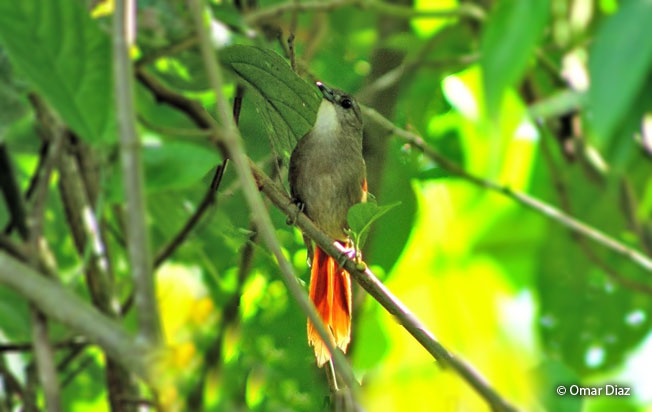 plain-crowned_spinetail