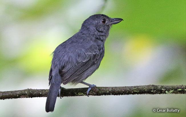 plain-winged_antshrike