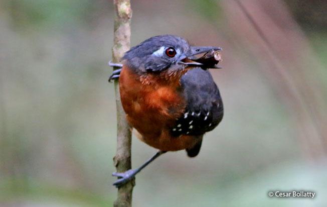 plumbeous_antbird