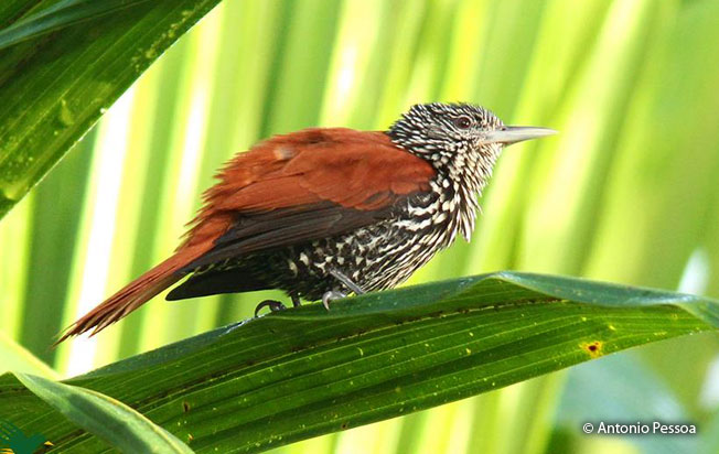 point-tailed-palmcreeper