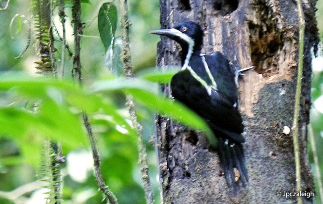 powerful_woodpecker