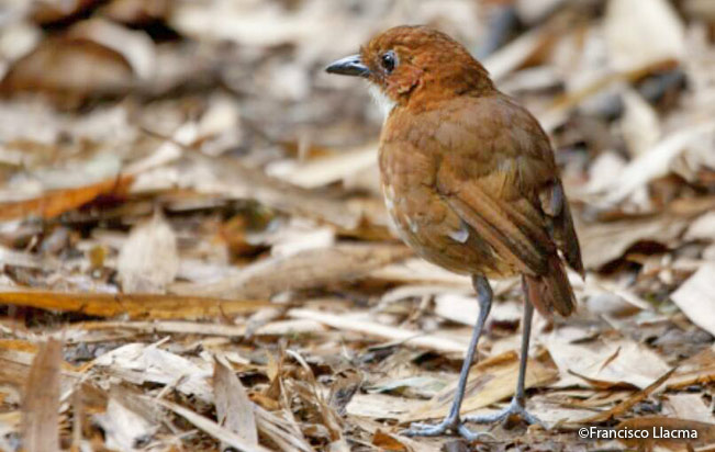 red-and-White_antpitta