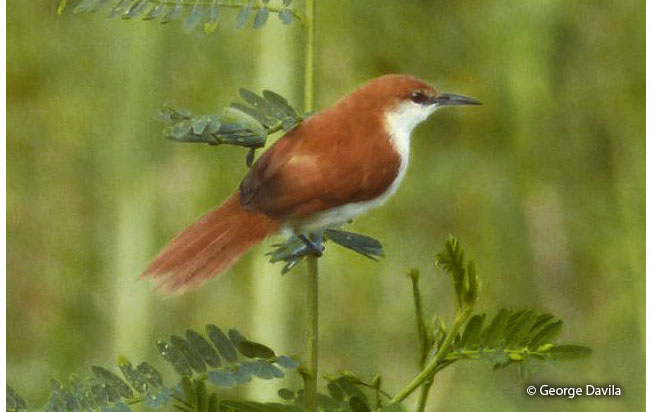red-and-white-spinetail