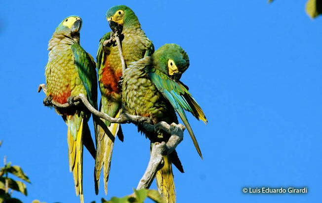 red-bellied_macaw