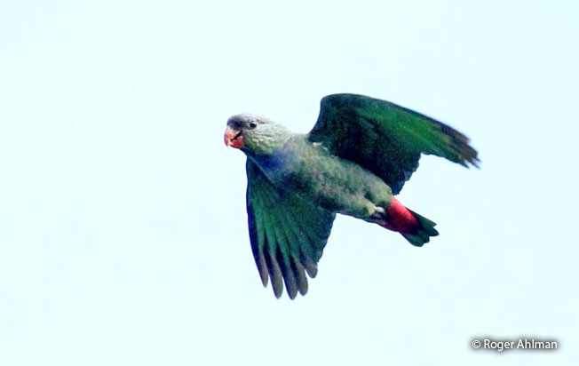 red-billed-parrot
