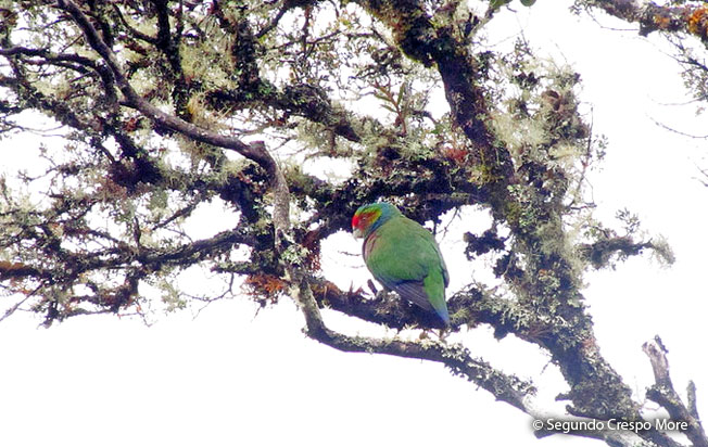 red-faced-parrot
