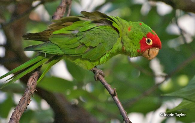 red-masked_parakeet