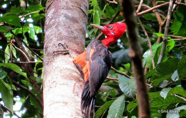 red-necked_woodpecker
