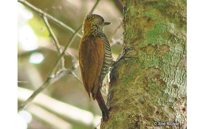 red-rumped-woodpecker