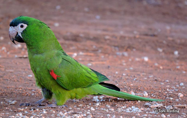 red-shouldered_macaw