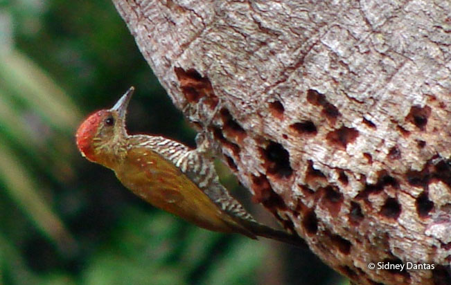 red-stained_woodpecker